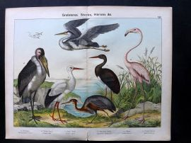 Kirby & Schubert 1889 Antique Bird Print. Flamingo, Storks, Heron, Purple Heron